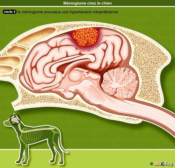 meningiome-cerveau-encephale-chien_2