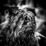chien-affenpinscher-griffon-singe-Zwergaffen-dessiaume