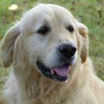 chien-golden-retriever-dore-exterieur