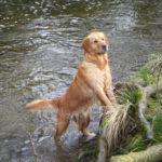 chien-golden-retriever-dore-eau