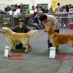 chien-golden-retriever-dore-exposition