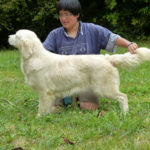 chien-golden-retriever-dore-champs