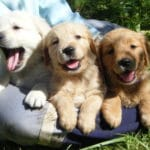 chien-golden-retriever-dore-chiots