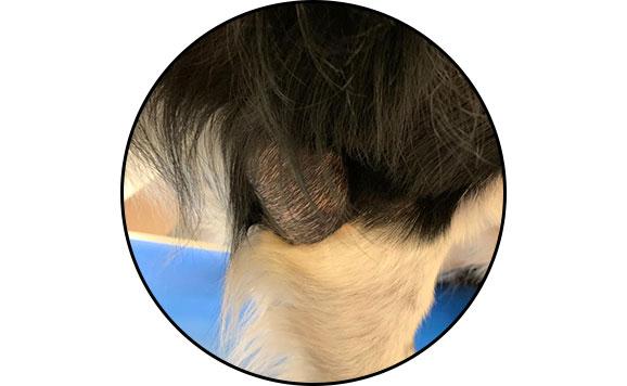 Hygroma à la pointe du coude chez un chien