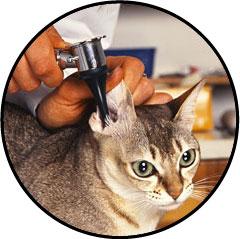 Gale des oreilles du chat ou gale auriculaire