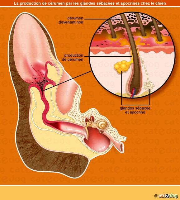 Gale des oreilles ou auriculaire avec production de cérumen chez le chat