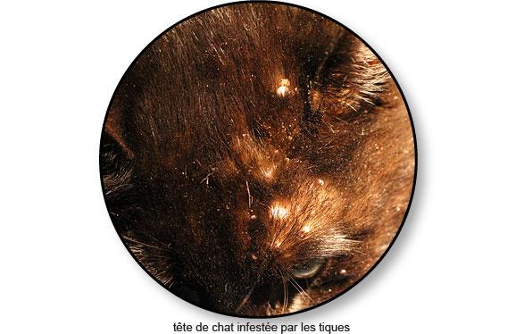 infestation-tiques-chat_©catedog.com