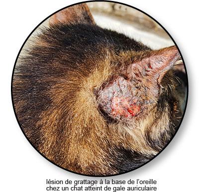 Lésion chez un chat atteint de gale auriculaire