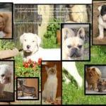 bulldog-anglais-spitz-dogue-argentin