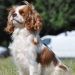 cavalier-king-charles-assis