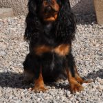 cavalier-king-charles-assis-exterieur