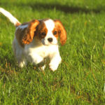 cavalier-king-charles-chiot-courir