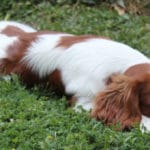 cavalier-king-charles-couche