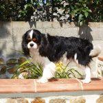 cavalier-king-charles-jardin