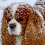 cavalier-king-charles-neige