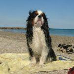 cavalier-king-charles-plage