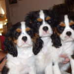 cavalier-king-charles-trio