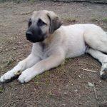 chien-berger-anatolie-chiot-couche