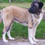 chien-berger-anatolie-exterieur