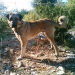 chien-berger-anatolie-exterieur-attache