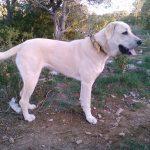 chien-berger-anatolie-exterieur-creme