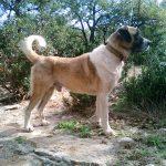 chien-berger-anatolie-exterieur-jardin