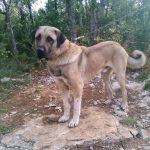 chien-berger-anatolie-exterieur-male