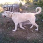 chien-berger-anatolie-exterieur-marche