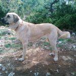 chien-berger-anatolie-exterieur-parc