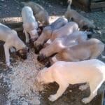 chien-berger-anatolie-exterieur-repas