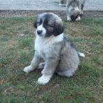 chien-berger-roumain-des-carpathes-chiot