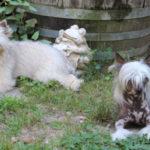 chien-chinois-a-crete-duo