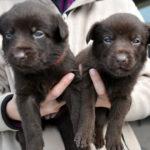 chien-kelpie-australien-chiots