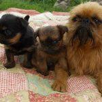 petit-brabancon-trio