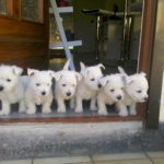 west-highland-white-terrier-chiots-maison