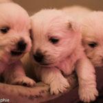 west-highland-white-terrier-chiots-panier