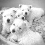 west-highland-white-terrier-chiots-quatre
