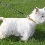 west-highland-white-terrier-herbe