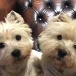 west-highland-white-terrier-westie-duo