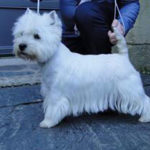 west-highland-white-terrier-westie-exterieur