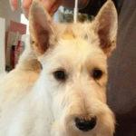 west-highland-white-terrier-westie-portrait