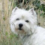 west-highland-white-terrier-westie-tete