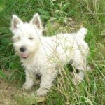 west-higland-white-terrier-jardin