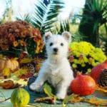 westie-west-highland-white-terrier-automne