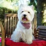 westie-west-highland-white-terrier-chaise