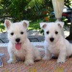 westie-west-highland-white-terrier-chiots-duo