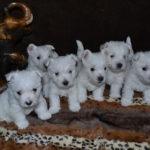 westie-west-highland-white-terrier-chiots-interieur