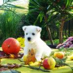 westie-west-highland-white-terrier-citrouille