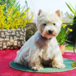 westie-west-highland-white-terrier-coussin