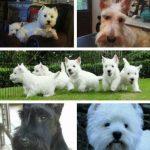 westie-west-highland-white-terrier-ecossais